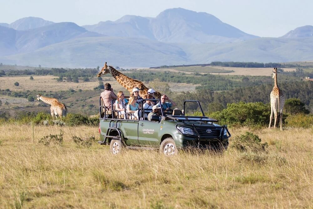 game drive giraffe