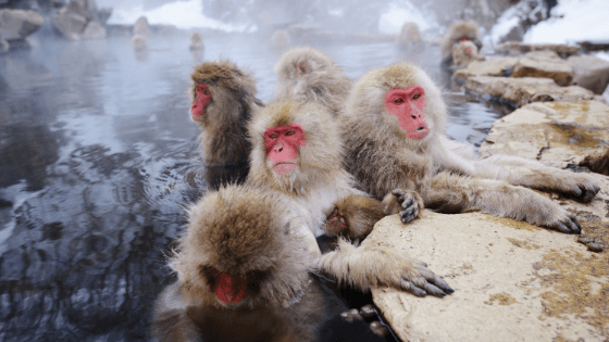 Monkeys in Japan Travel Ideas